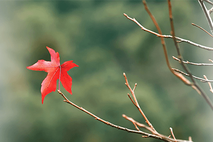 Image of red leaf hanging onto branch with faded edges